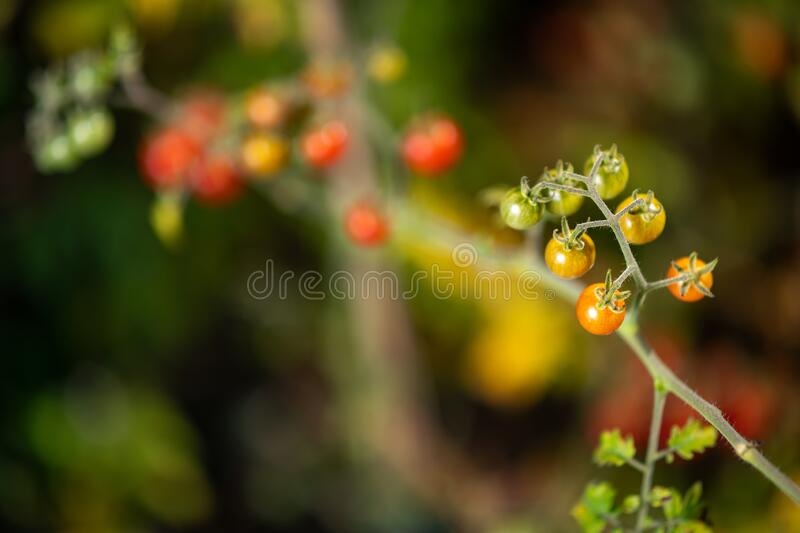 Detail of colorful variety of wild tomatoes on the vine of a small tomato tree in the garden. stock photos