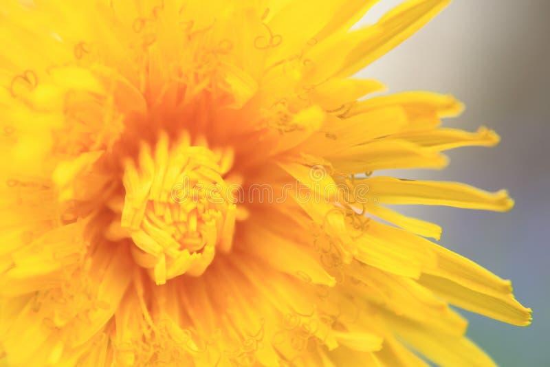 Detail of dandelion flower stock images