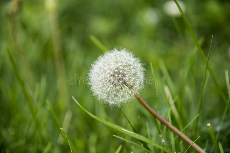 Detail of a dandelion between the lawn. Dandelion among the lawn. Gifts of nature. Desire to blow a dandelion stock photography
