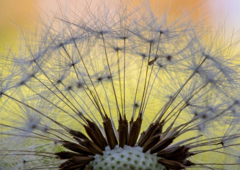 Detail of Dandelion Petals stock images