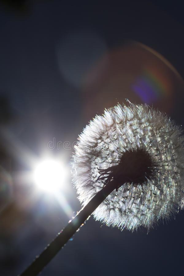 Detail on a dandelion plant with sun shining from behind it creating a colorful decorative lens flare royalty free stock photography