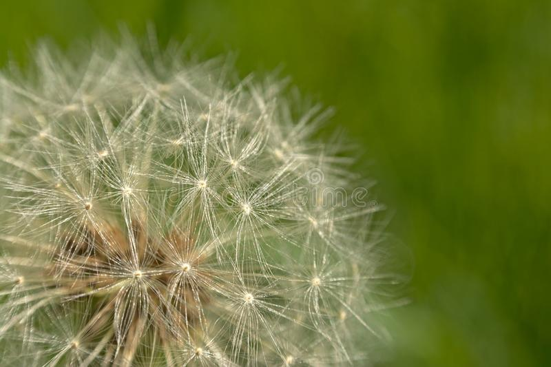 Detail of a dandelion seed head macro - Taraxacum royalty free stock image