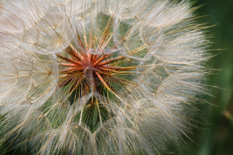 Detail of Dandelion Seeds royalty free stock photos