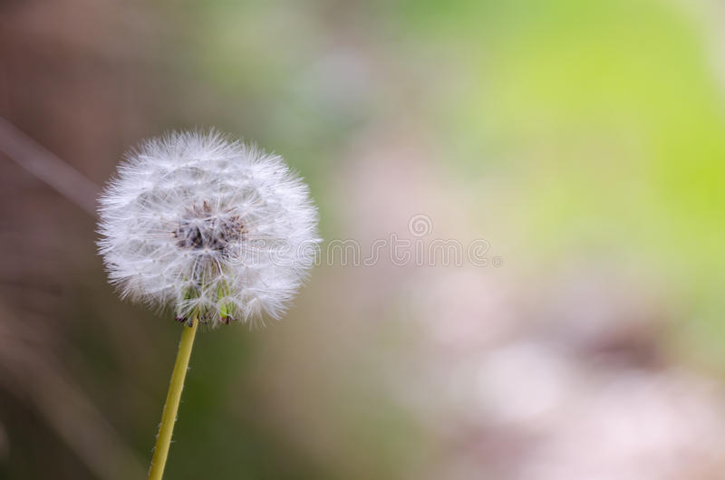 Detail on dandelion seeds over a blurred background royalty free stock images