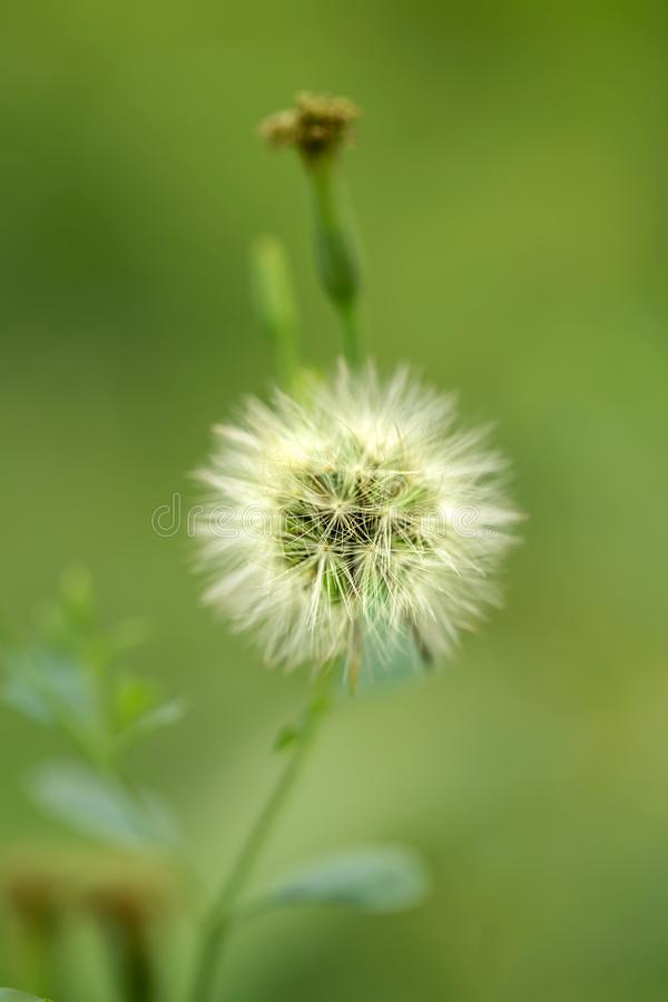 Detail Dandelion or Taraxacum Officinale on the Middle and Bokeh on Green Natural Background With Natural Light. stock photos