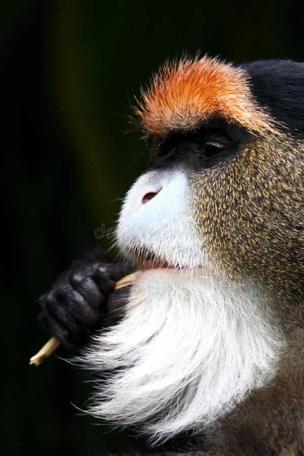 Detail of De Brazza`s monkey. Cercopithecus neglectus in profile stock photography