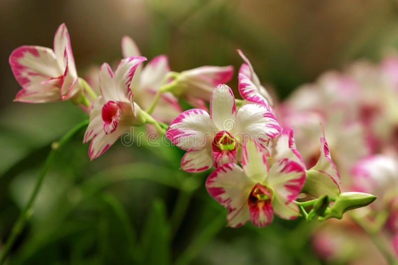 Detail Denbrodium White Pink Orchids with Natural Light. royalty free stock images