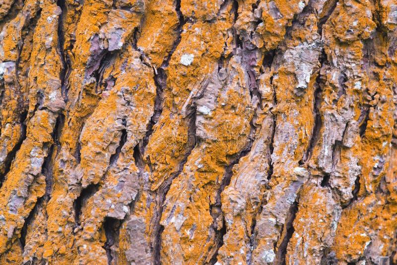 Detail der Barke und der roten Kiefer lizenzfreie stockfotografie