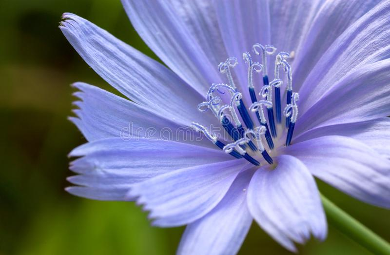 Detail der Blume der wilden Zichorie. stockfotografie