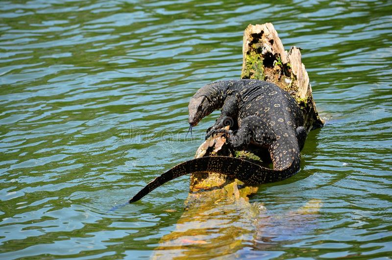 Detail der exotischen Amphibie, Srí Lanka lizenzfreie stockfotografie