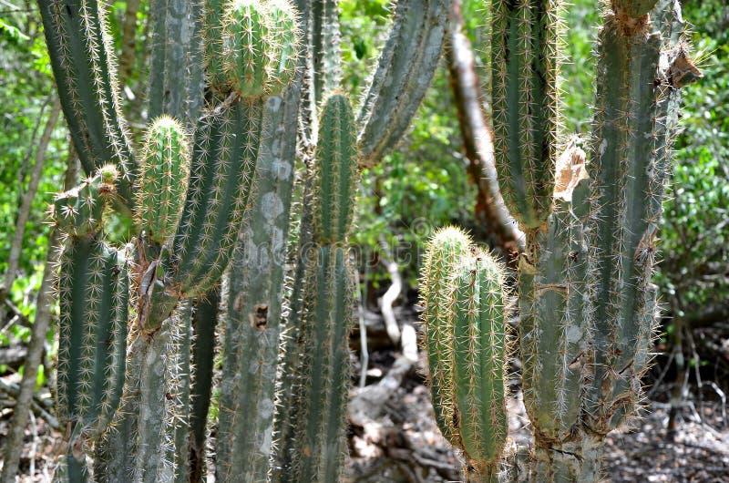 Detail der Kaktusblume, Playa Larga stockbilder