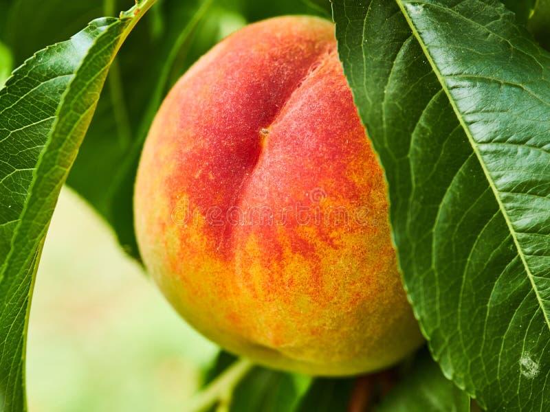Detail der Pfirsichfrucht mit Blättern stockfotos