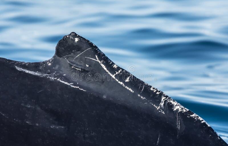 Detail der Rückenflosse eines Buckelwals, der unter Riesen einzieht stockbild