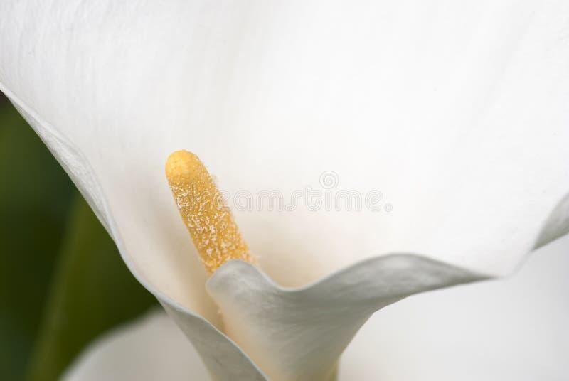 Detail der weißen Callalilienblume (Zantedeschia) lizenzfreies stockbild