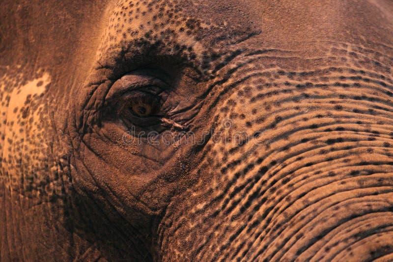 Detail des asiatischen Elefanten lizenzfreie stockbilder