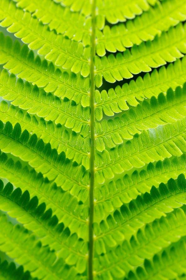 Detail des grünen Farns lizenzfreie stockfotos