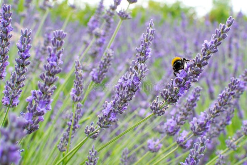 Detail des Lavendels stockfotografie