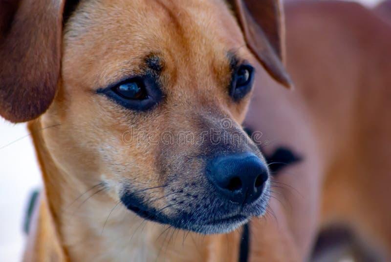Detail des Mongrel Hundes, Portrait des Gesichts, braune nicht spezifizierte Rasse tun stockfotografie