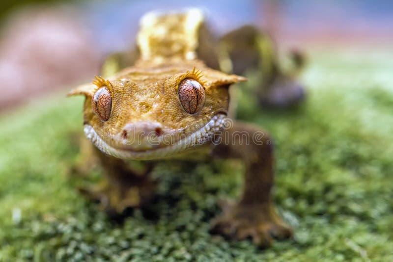 Detail des neuen kaledonischen HauptGeckos mit Haube stockbilder