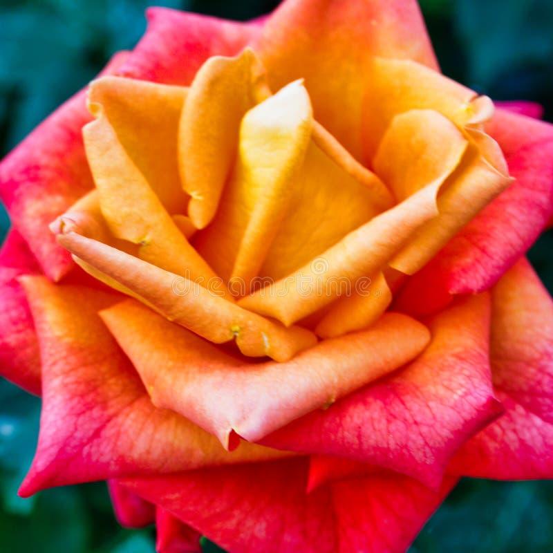 Detail des volle Blüte-Orangen-Gelbs Rose Flower stockfotos