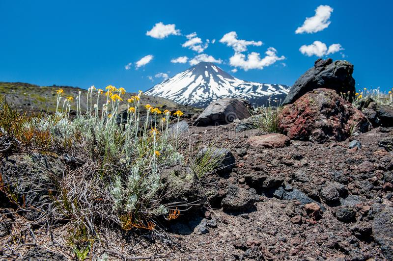 Detail of desert life. Antuco volcano black volcano desert. Blooming flower and stones near in front. Blue sky and clouds over the stock images
