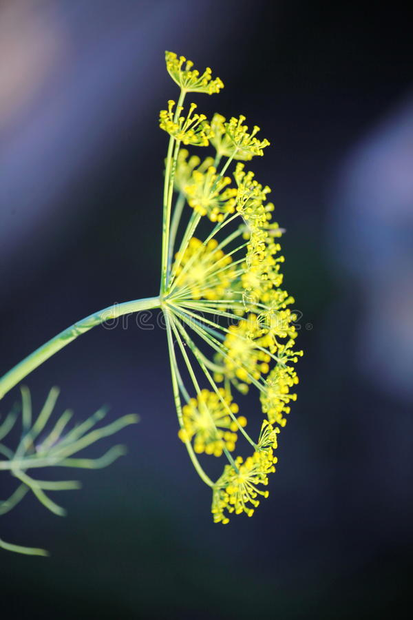 Detail of dill flowers (close-up). blurred background stock image