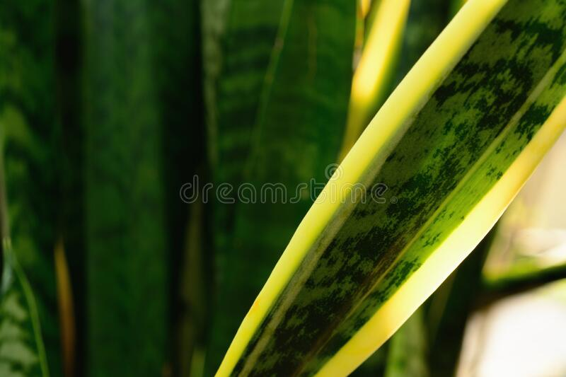 Detail of Dracaena trifasciata or snake plant. Against the sun light stock images