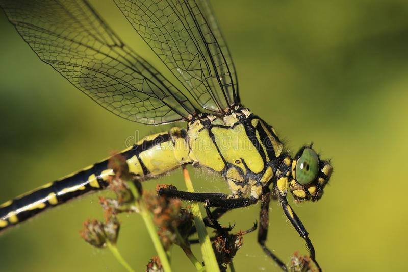 Detail dragonfly sitting on plant stock photos