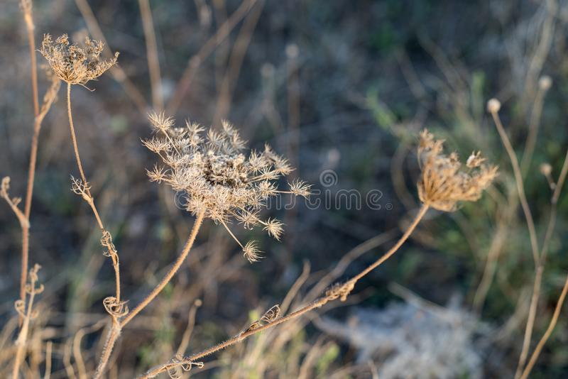 Detail dry grass and blur background stock photo