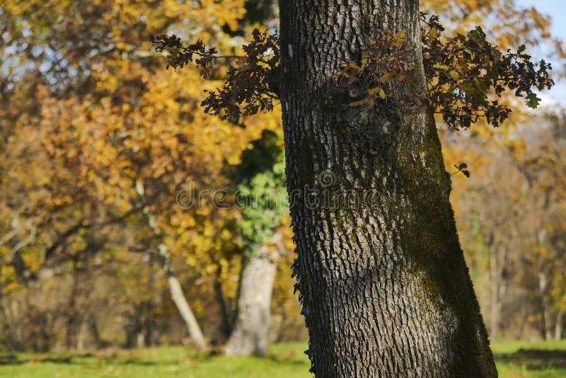 Detail eiken bomen op de zonnige achtergrond van het dagonduidelijke beeld stock afbeeldingen