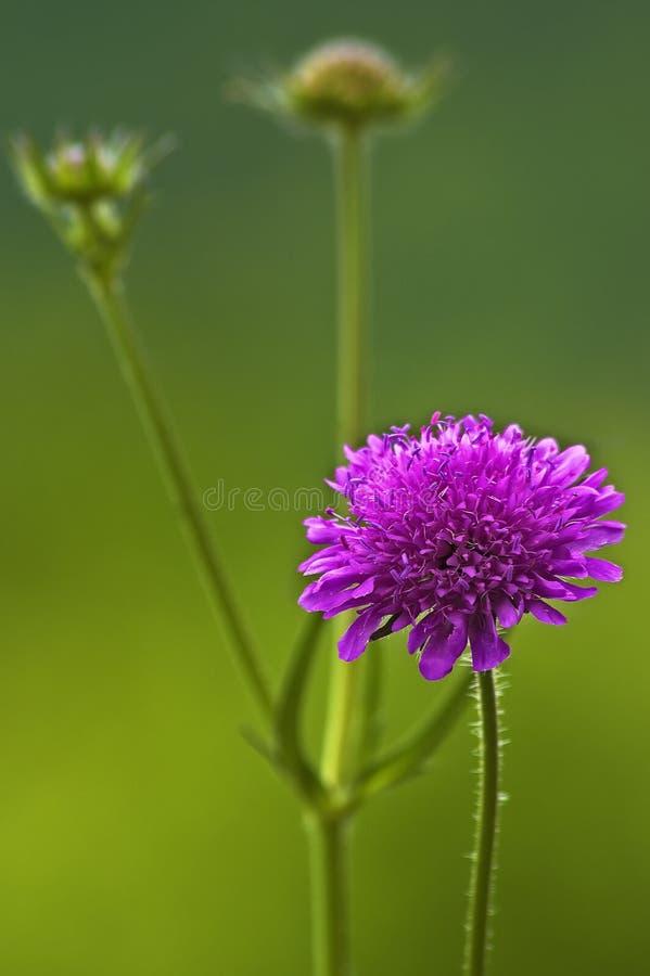 Detail einer Blume von Knautia-Arvensis stockfoto
