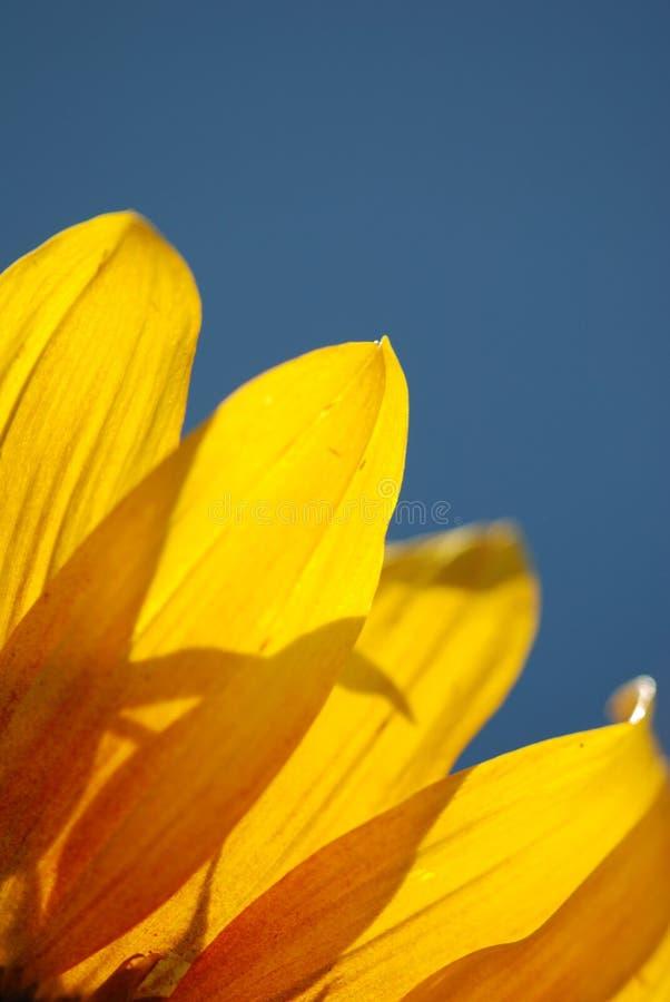 Detail einer Sonnenblume stockfotos
