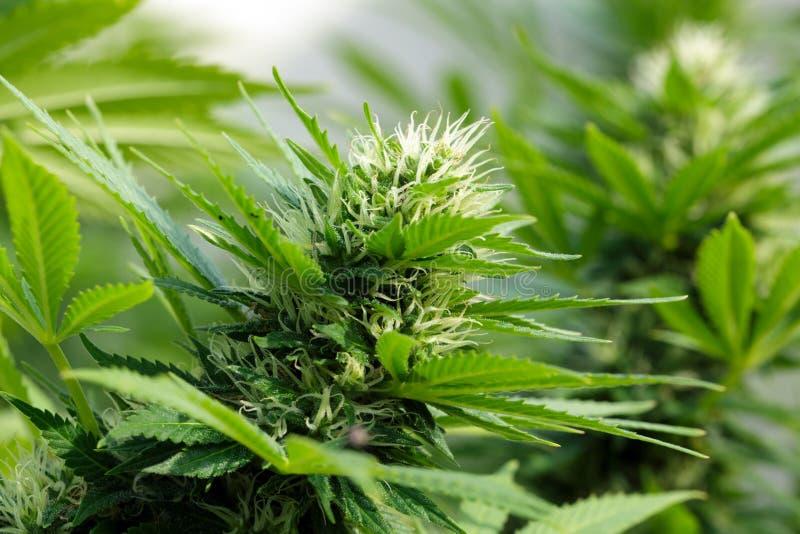 Detail eines Hanf flowerhead stockfotos