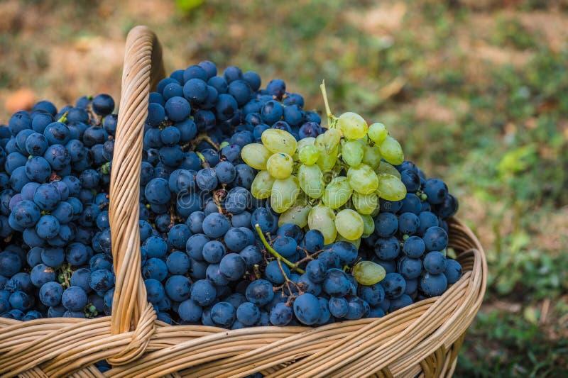 Detail eines Korbes mit Trauben Ernte der blauen Traube Lebensmittel, Burgunder Herbst im Garten lizenzfreie stockbilder