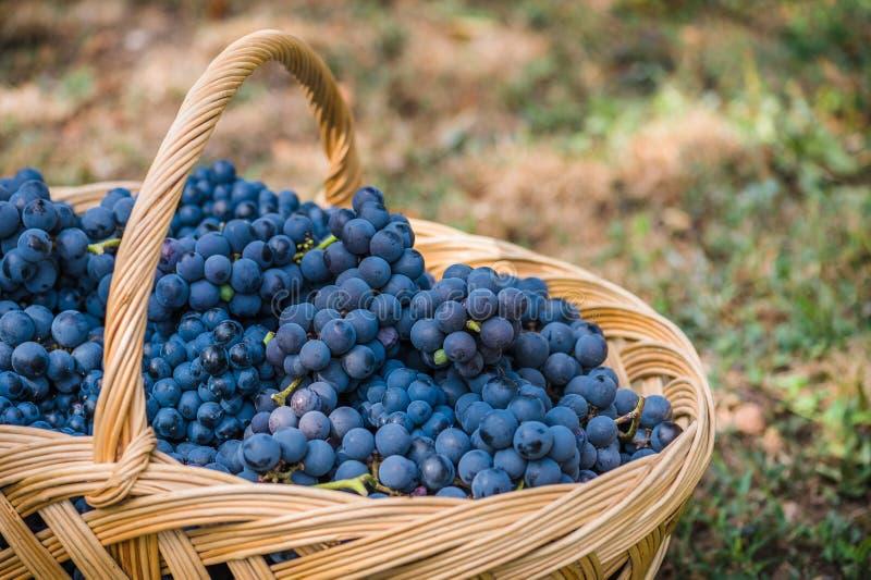 Detail eines Korbes mit Trauben Ernte der blauen Traube Lebensmittel, Burgunder Herbst im Garten stockfotografie