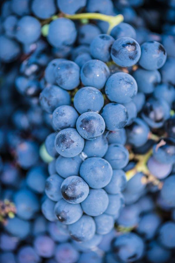 Detail eines Korbes mit Trauben Ernte der blauen Traube Lebensmittel, Burgunder Herbst im Garten lizenzfreie stockfotos