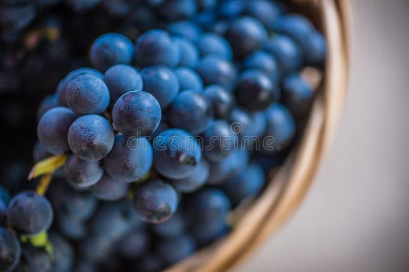 Detail eines Korbes mit Trauben Ernte der blauen Traube Lebensmittel, Burgunder Herbst im Garten stockbild