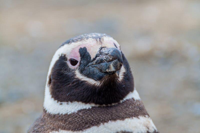 Detail eines Pinguins stockbild