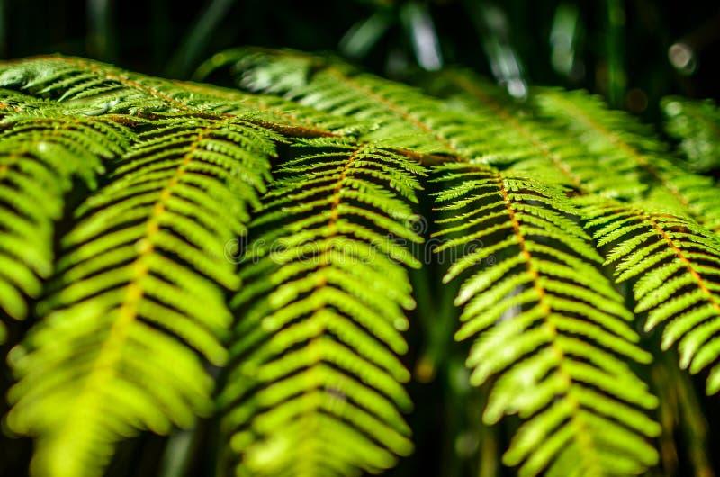 Detail eines schönen Blattes der Farnnahaufnahme stockfoto
