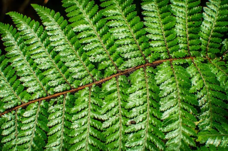 Detail eines schönen Blattes der Farnnahaufnahme stockbilder