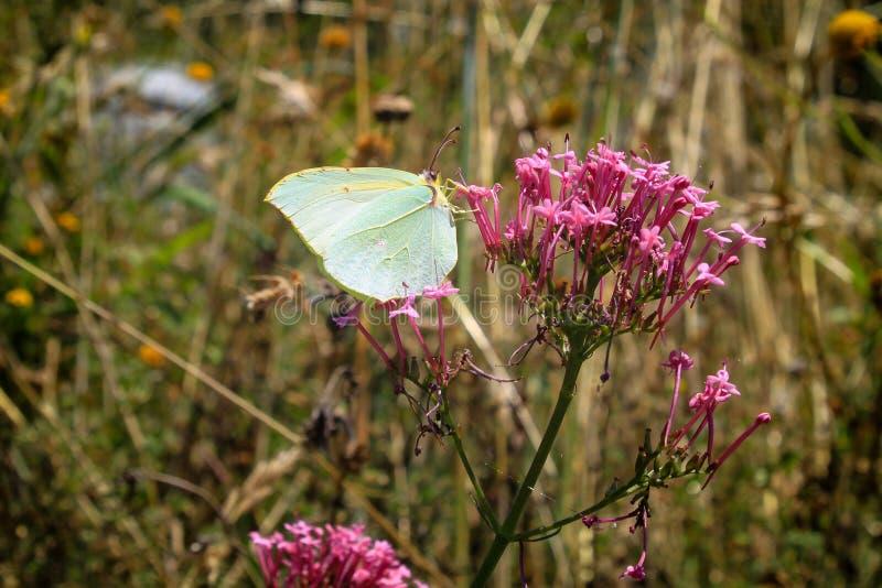 Detail eines Schmetterlinges auf einer Blume lizenzfreies stockfoto