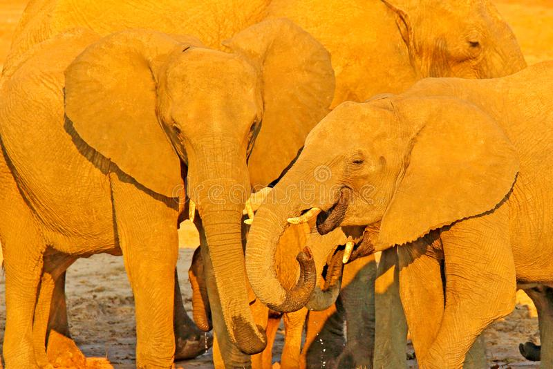 Detail of elepjants, evening sunset, orange sun. Wildlife scene from nature. A herd of African elephants drinking at a waterhole l royalty free stock photos