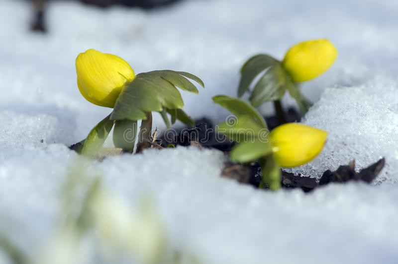 Detail of eranthis hyemalis, early spring flowers in bloom, winter aconite covered with fresh white snow stock images