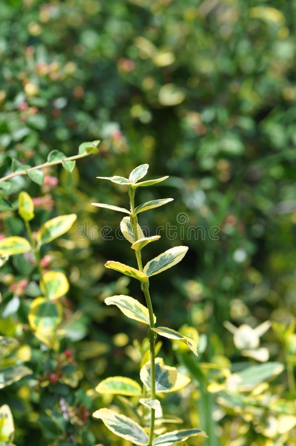 Euonymus fortunei fortune s spindle royalty free stock photos
