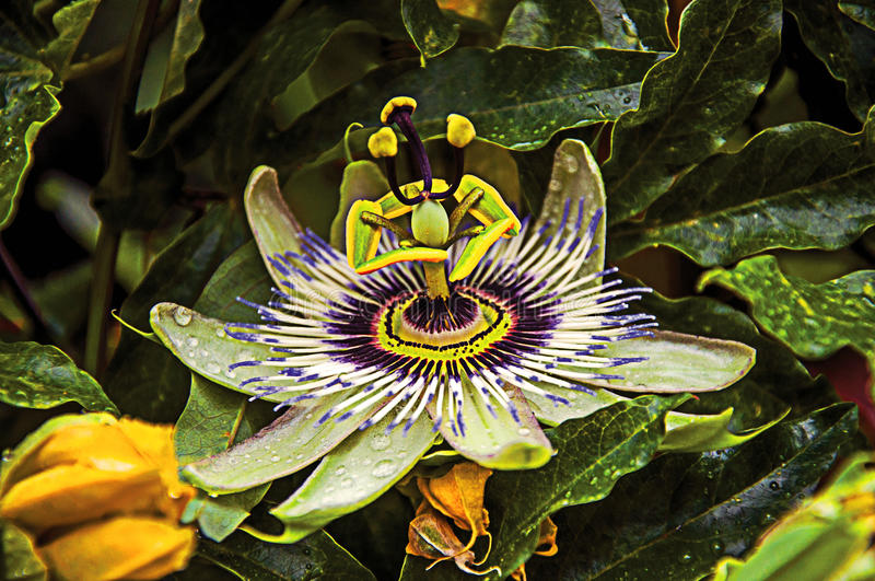 Detail of exotic garden flower in the village of Châteauneuf-du-Pape. Located in the Vaucluse department, Provence-Alpes-Côte d`Azur region in stock photo