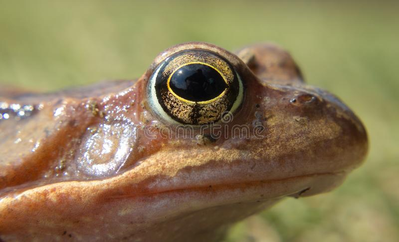 Detail eye frog in the wild on a green background stock images