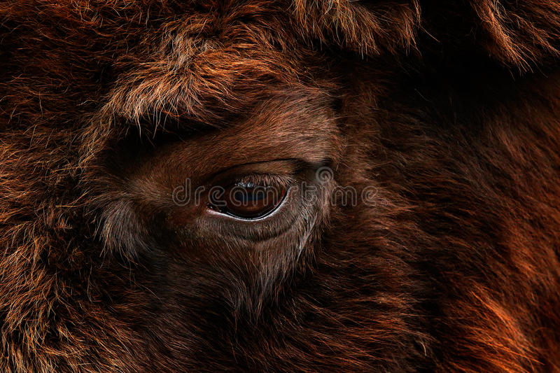 Detail eye portrait of European bison. Fur coat with eye of big brown animal in the nature habitat, Czech republic, Art view of bi royalty free stock photos