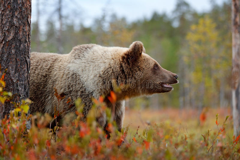 Detail face portrait of brown bear. Beautiful big brown bear walking around lake with autumn colours. Dangerous animal in nature. Forest habitat royalty free stock image