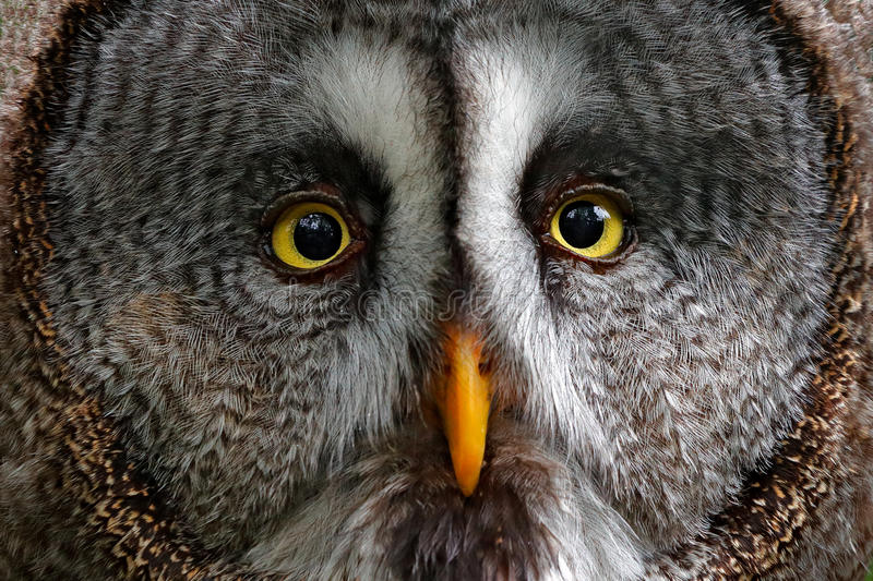 Detail face portrait of owl. Owl hiden in the forest. Great grey owl, Strix nebulosa, sitting on old tree trunk with grass, portra royalty free stock images