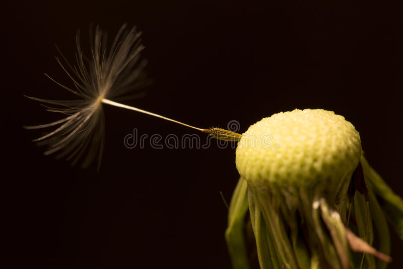 The Detail of the faded Dandelion stock photography
